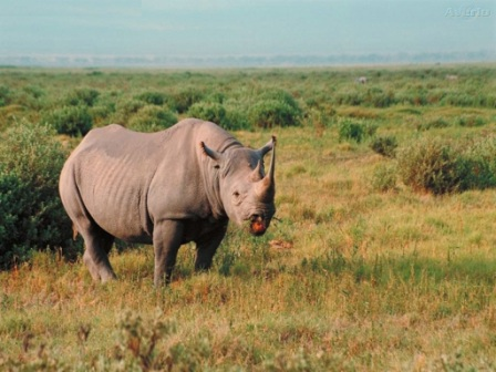 rinoceronte llanura