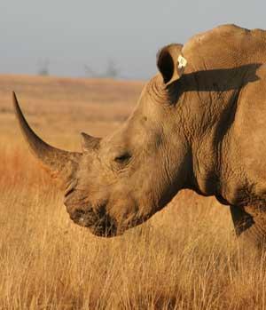perfil rinoceronte