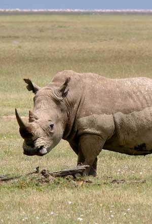 rinoceronte en el pasto
