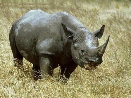 rinoceronte pastando