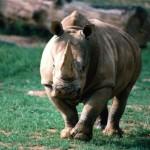 rinoceronte atacando