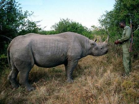 rinoceronte negro y ranger africano