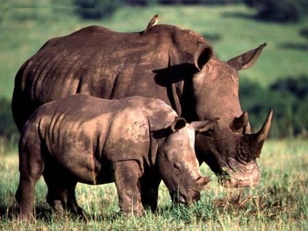 madre y cria rinoceronte blanco