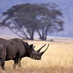 rinoceronte negro en africa