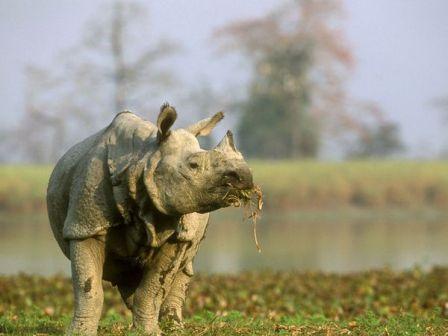 rinoceronte indio 2