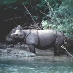 rinocerontes de java2