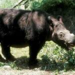 rinoceronte de sumatra 2